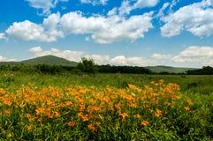 Лилии и лето тигра Стоковое Изображение RF
