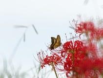 Лилии красного паука с bokeh Стоковое Фото