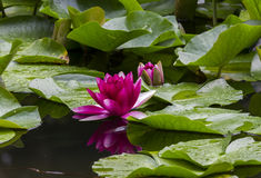 Лилии красной воды на поверхности сада pond Стоковые Изображения RF