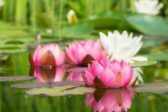 Лилии красной и белой воды Стоковое Изображение RF