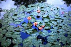 Лилии на пруде Стоковые Фото