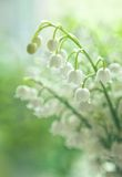 Лилии долины Стоковое фото RF