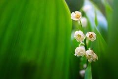 Лилии долины Стоковые Фото
