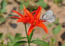 Лилии шарлаха одичалые с бабочкой Стоковое фото RF