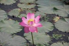 Лилия далеко Стоковые Изображения RF