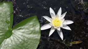 Лилия белой воды Красивая лилия белой воды и тропические климаты золотистая поверхностная вода пульсаций видеоматериал