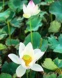 Лилия белой воды крупного плана белого лотоса Стоковая Фотография