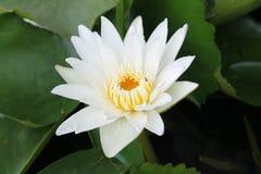 Лилия белой воды, цветки Таиланда Стоковое Изображение