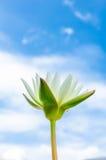 Лилия белой воды Стоковые Фотографии RF