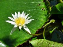 Лилия белой воды Стоковая Фотография RF