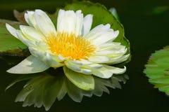 Лилия белой воды Стоковое Изображение