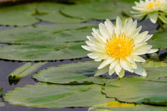 Лилия белой воды Стоковая Фотография