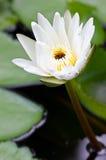 Лилия белой воды. Стоковые Фото