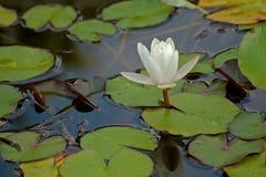 Лилия белой воды Стоковые Изображения