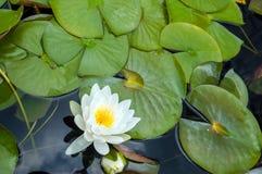 Лилия белой воды Стоковые Фото