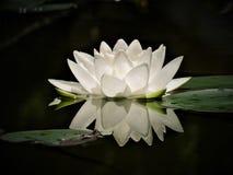 Лилия белой воды Purley Стоковая Фотография RF