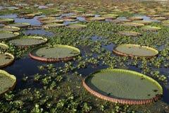 Лилия воды Амазонки гиганта, amazonica Виктории Стоковое Изображение RF