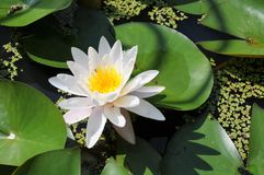 Лилия воды, Вирджиния Стоковое фото RF