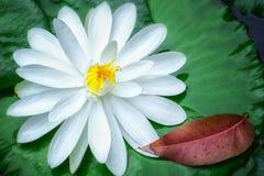 Лилия воды внутри высушенных лист Стоковые Изображения