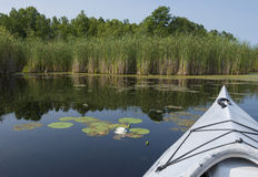 Лилия воды в болоте Стоковые Фото