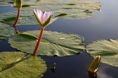 Лилия воды в запруде, трассе сада, Южной Африке Стоковые Изображения