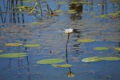 Лилия воды в реке Стоковые Изображения