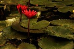 Лилия воды в свете утра Стоковые Фотографии RF