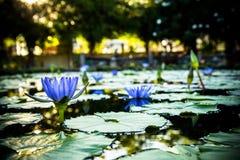Лилия воды голубой лотос Стоковое Изображение RF