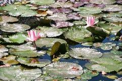 Лилия воды зацветает 3 Стоковые Фотографии RF