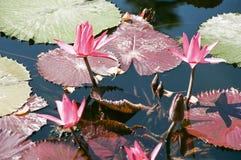 Лилия воды зацветает 2 Стоковое Фото