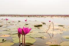 Лилия воды крупного плана красивая розовая в утре на море стоковые фотографии rf
