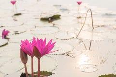 Лилия воды крупного плана красивая розовая в утре на море r стоковое фото rf