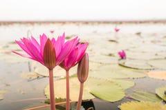 Лилия воды крупного плана красивая розовая в утре стоковое изображение rf