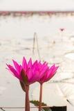 Лилия воды крупного плана красивая розовая стоковое фото