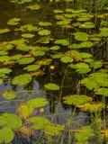 Лилия воды на меандре реки Стоковая Фотография RF