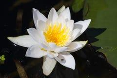 Лилия воды на озере Стоковое Фото