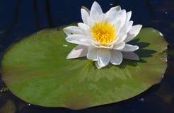 Лилия воды на озере Стоковое фото RF