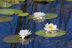 Лилия воды на озере Стоковые Изображения RF