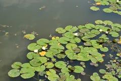 Лилия воды на озере Стоковое Изображение