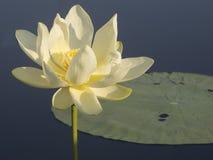 Лилия воды на озере Caddo Стоковые Фото