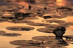 Лилия воды на пруде захода солнца Стоковые Фото