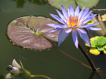 Лилия воды на пруде Стоковая Фотография