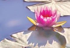 Лилия воды на солнце Стоковое Изображение