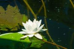 Лилия воды, озеро Skadar Стоковые Изображения RF