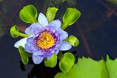 Лилия воды лотоса Стоковые Фото