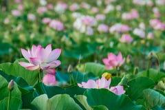 Лилия воды, лотос Стоковые Фото