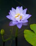 Лилия воды, лотос Стоковое Фото