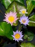 Лилия воды, лотос Стоковое Изображение