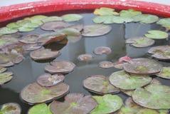 Лилия воды, лотос, Muang, Таиланд Стоковые Изображения