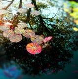 Лилия воды с рыбами Стоковые Фотографии RF